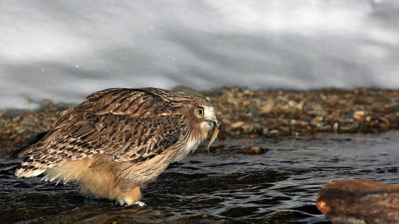 The quest to snare—and save—the world's largest owl