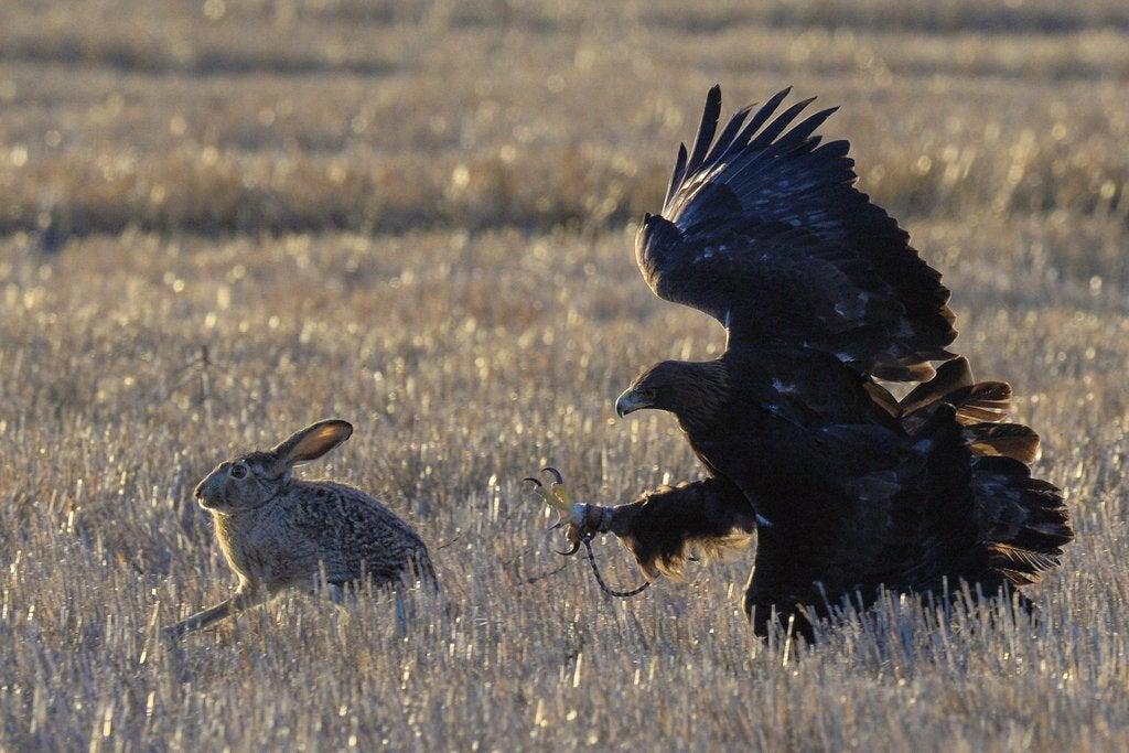 eagle hunting a rabbit