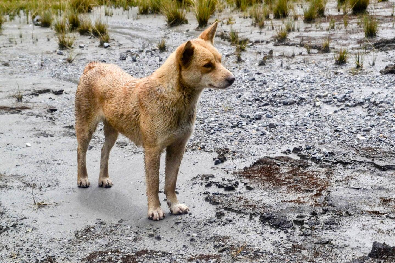 Highland wild dog.