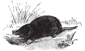 How to hunt for star-nosed moles (and their holes)