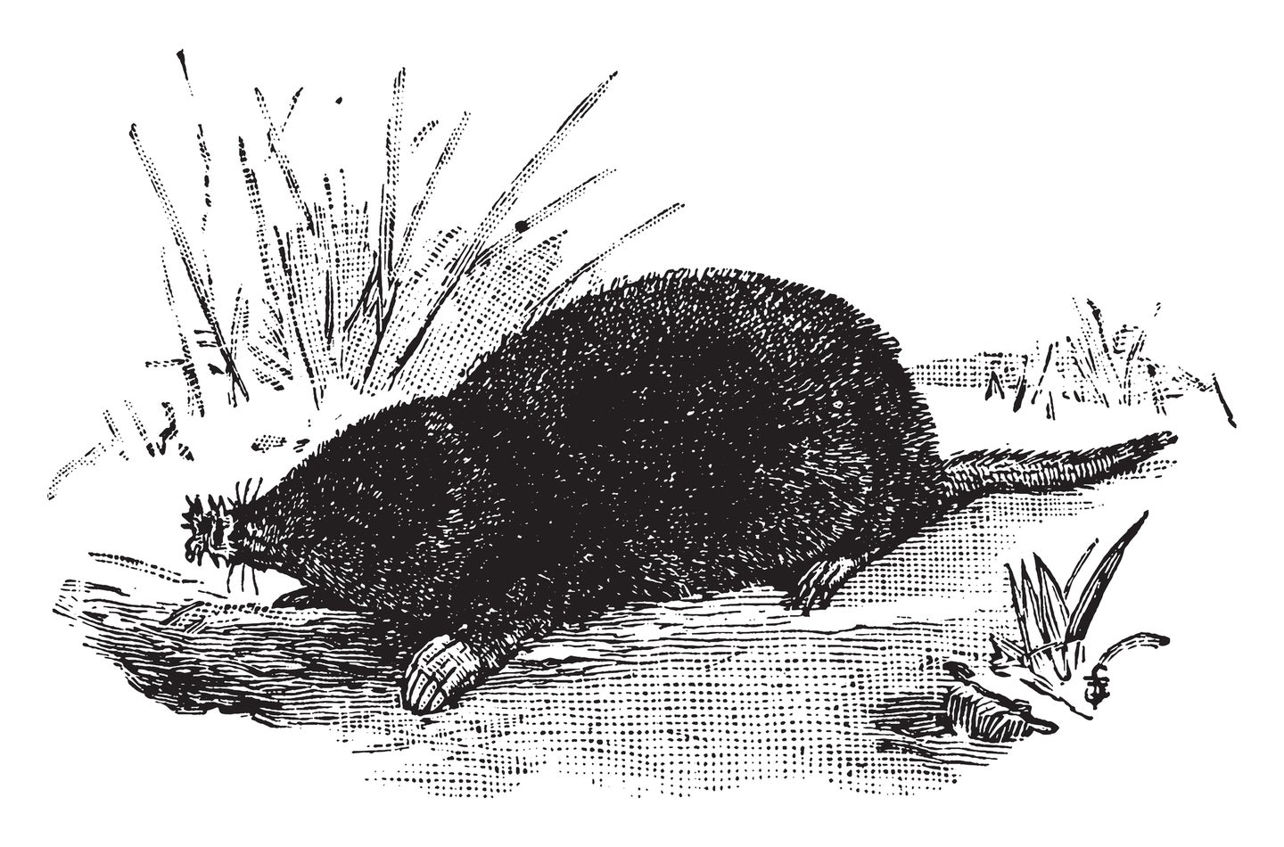 Illustration of a star-nosed mole