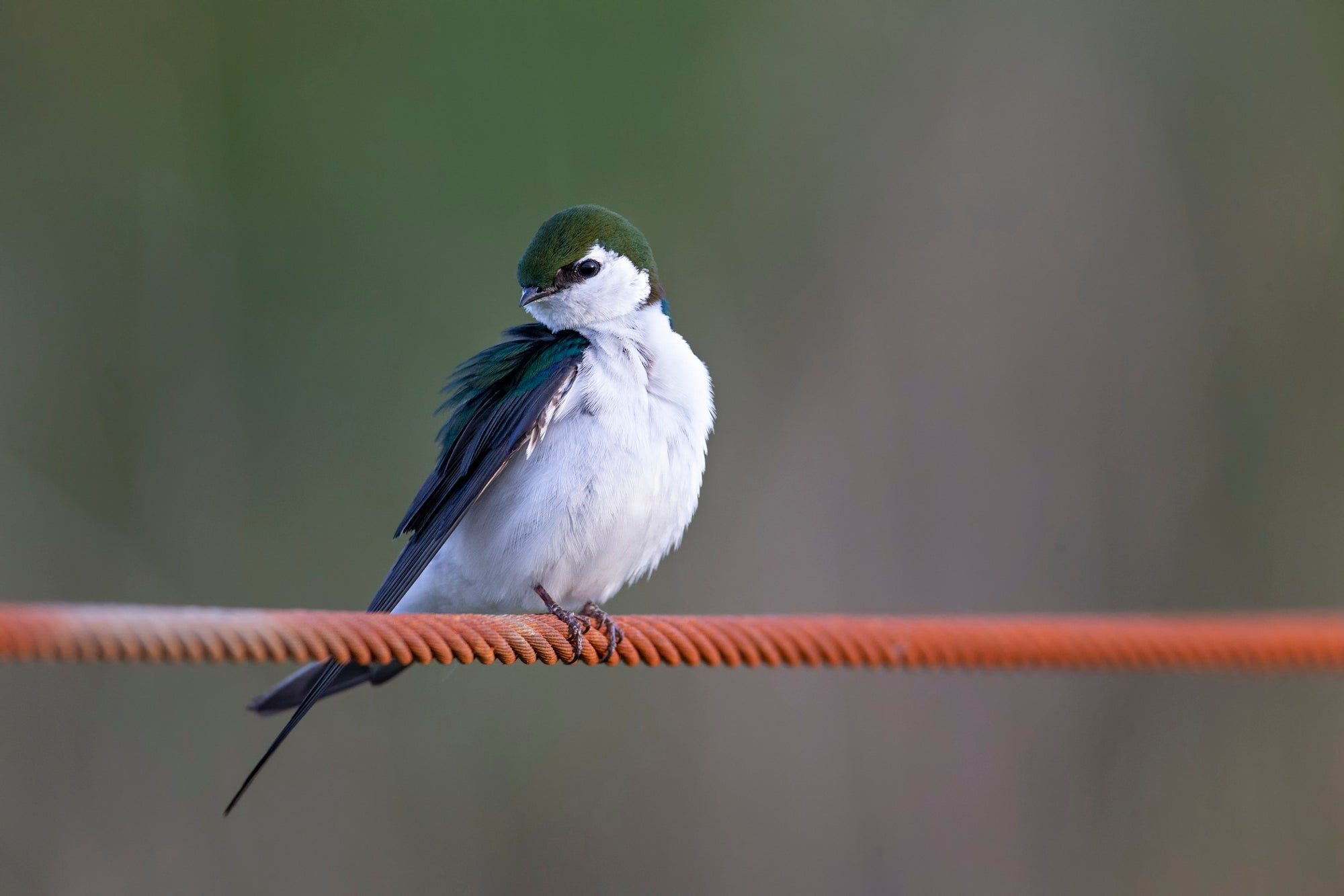 A violet-green swallow perched on a wire
