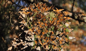Migrating monarchs are in trouble. Here's how we can all help them.