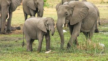 African elephants face many threats, including poachers and habitat loss.