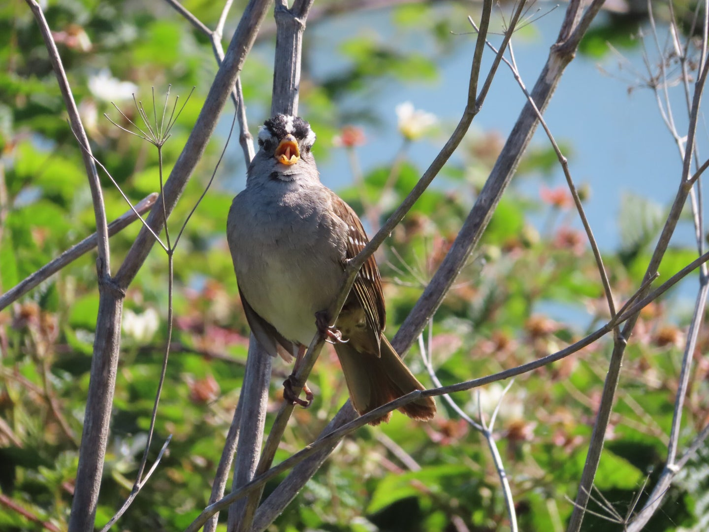 white-crowned sparrow singing in a tree