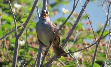 Bird songs got sexier during the COVID-19 shutdown