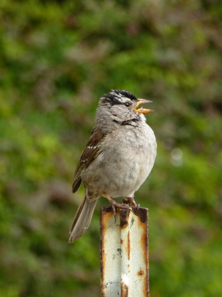 white-crowned sparrow with open beak singing