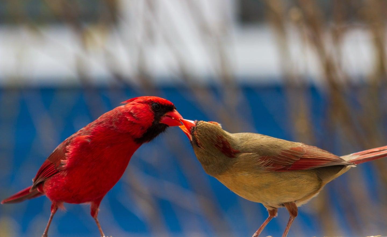 A male Northern cardinal feeding a female Northern cardinal