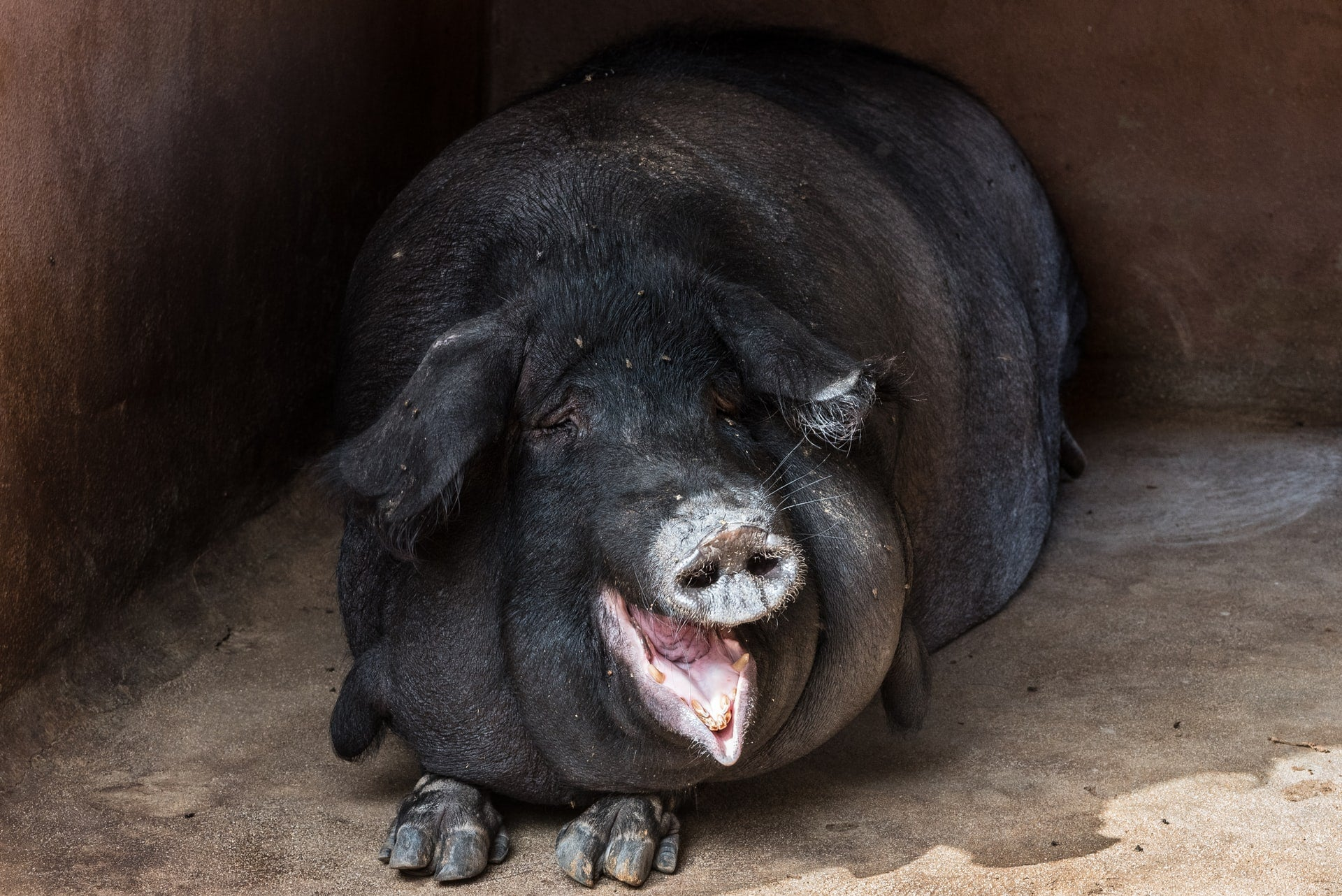 a black pig is smiling