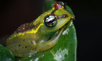 What hundreds of pickled frog carcasses can tell us about their enormous eyes
