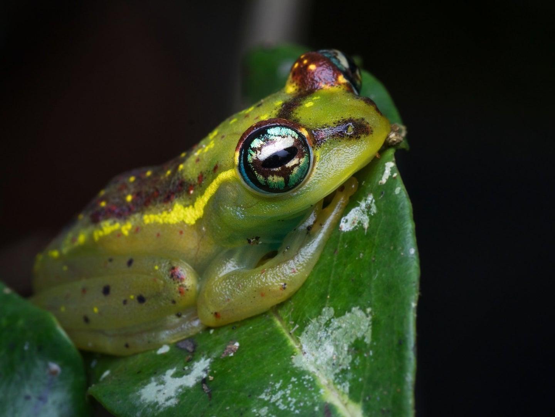 A green frog from Madascagar sits on a leaf.