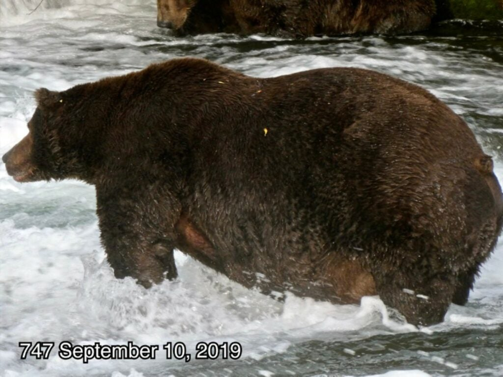 A Brown Baer stands in Brooks Falls fishing for salmon at Katmai National Park, in Alaska. Its name is 747 and in September 2019, it weighed an estimated 1,408 lb.
