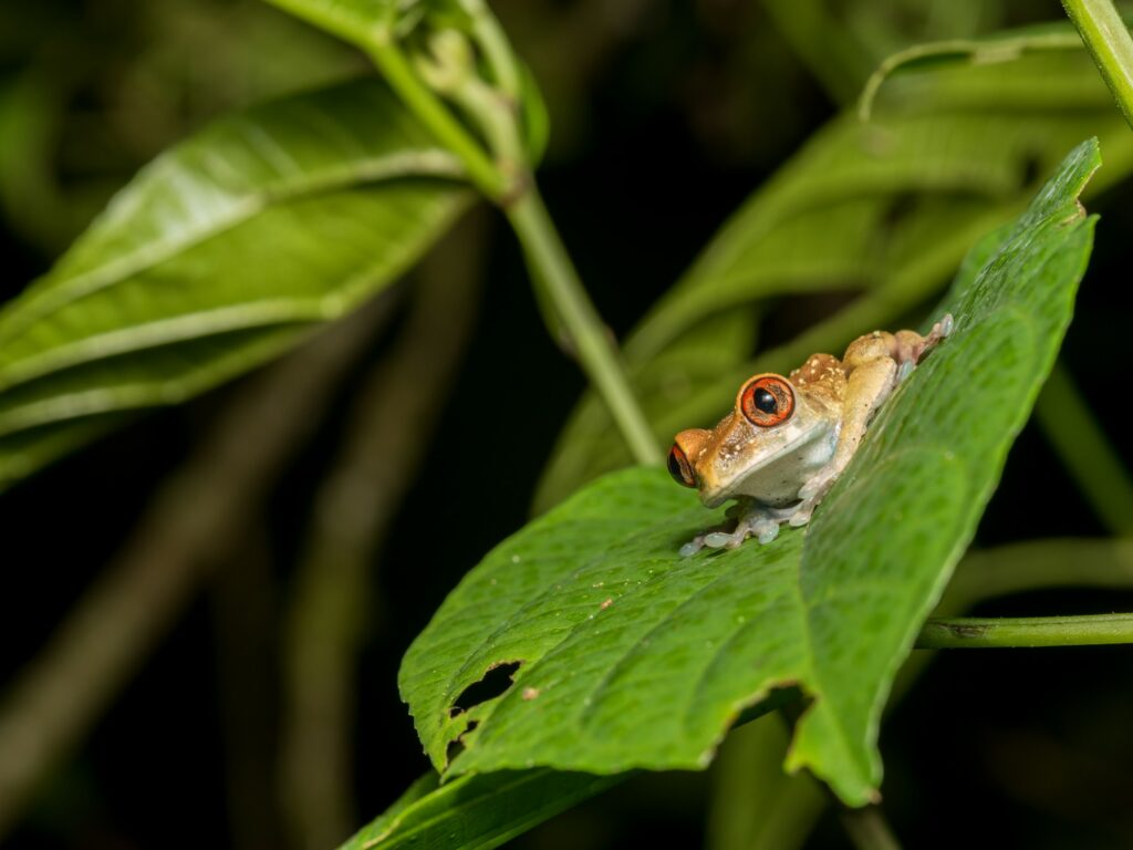 A small, orange frog on top of a leaf in  Bioko Island, Equatorial Guinea.
