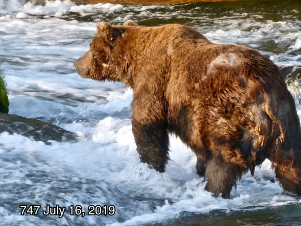 A brown bear stands in a waterfall in Katmai National Park. Its name is 747, and in this photo it looks very skinny.