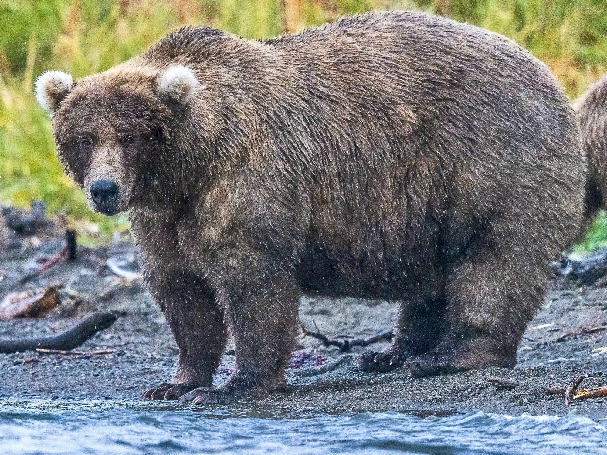 Bear 128 'Grazer', with medium blonde coat and light fluffy ears standing at the edge of the water with tall grass behind her.