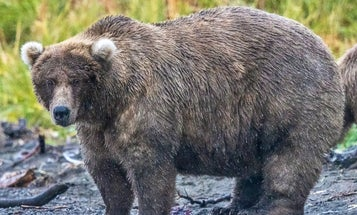 How scientists try to weigh some of the fattest bears on Earth