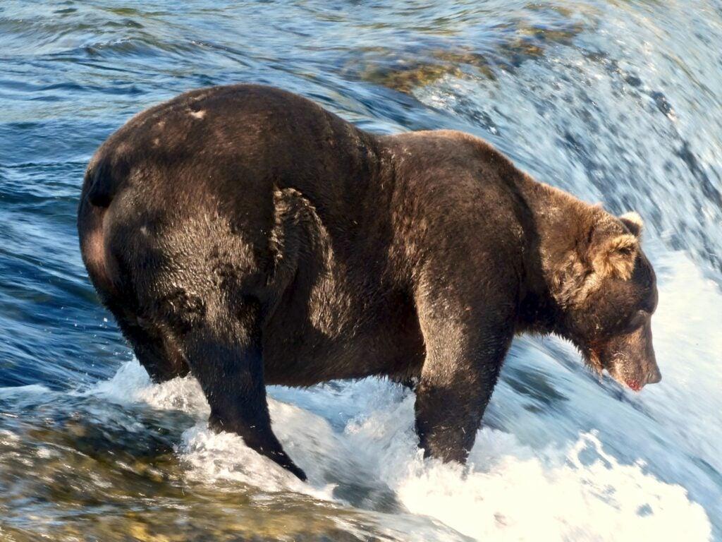 Bear 151 'Walker' is a dar brown bear. The bear is fishing salmon at Brooks Falls.