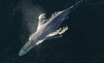 We can protect whales from ship strikes by translating their songs