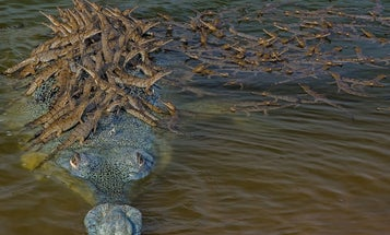This crocodile daddy giving 100 babies a ride puts your carpool to shame
