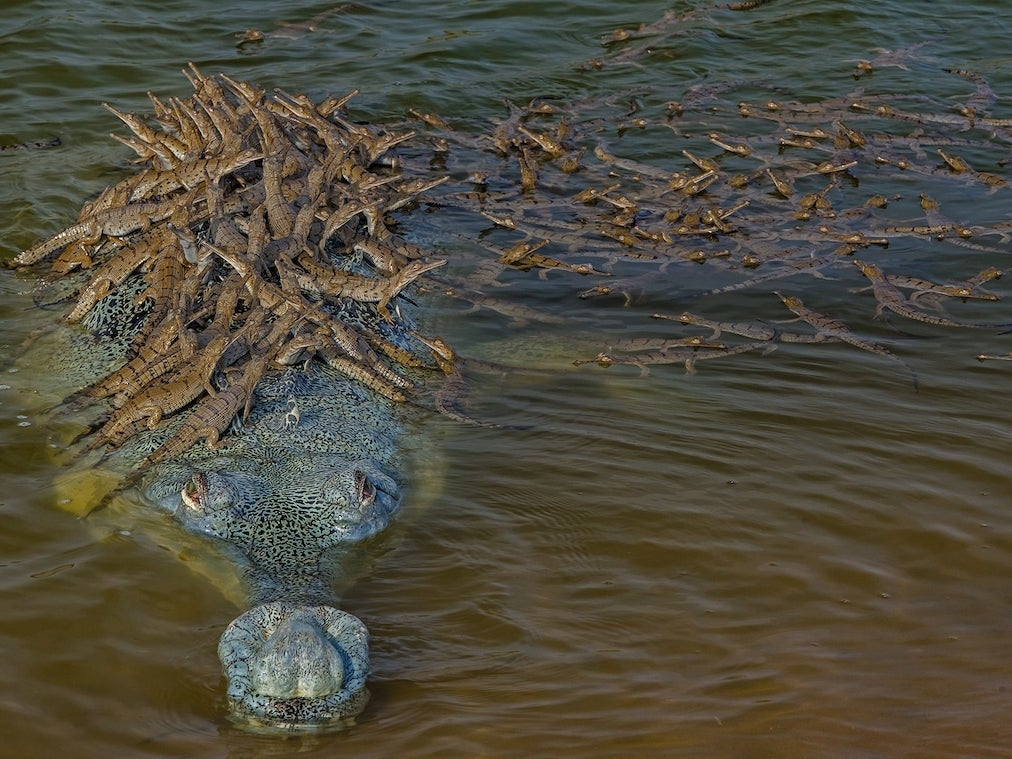 Dhritiman Mukherjee captured this gharial daddy giving over 100 of his offspring a ride on his back.
