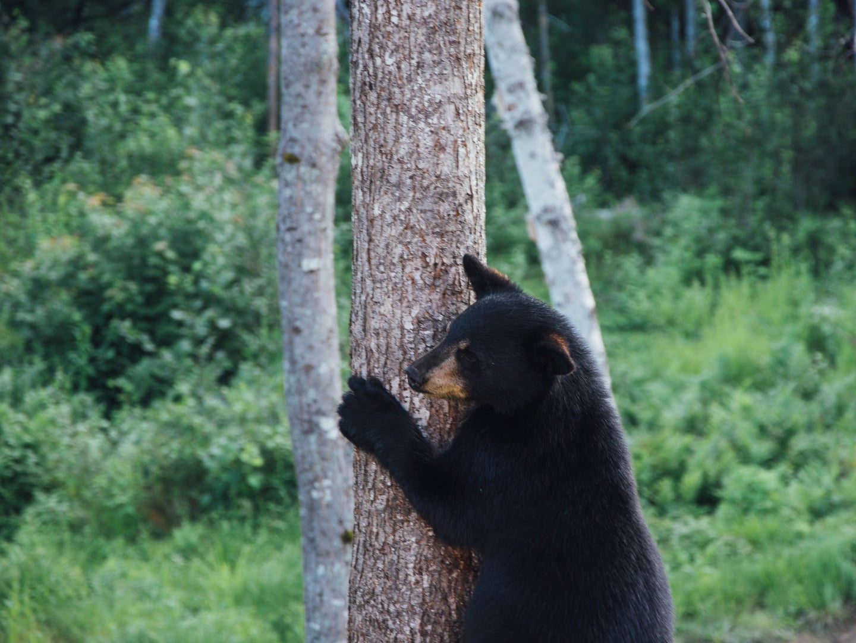 a black bear standing near a tree