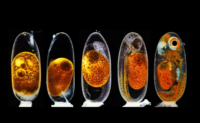 Clownfish embryo in growth