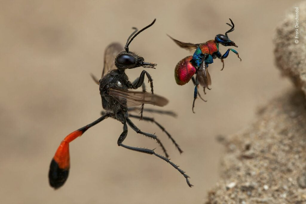 A cuckoo wasp and a sand wasp entering neighboring nests
