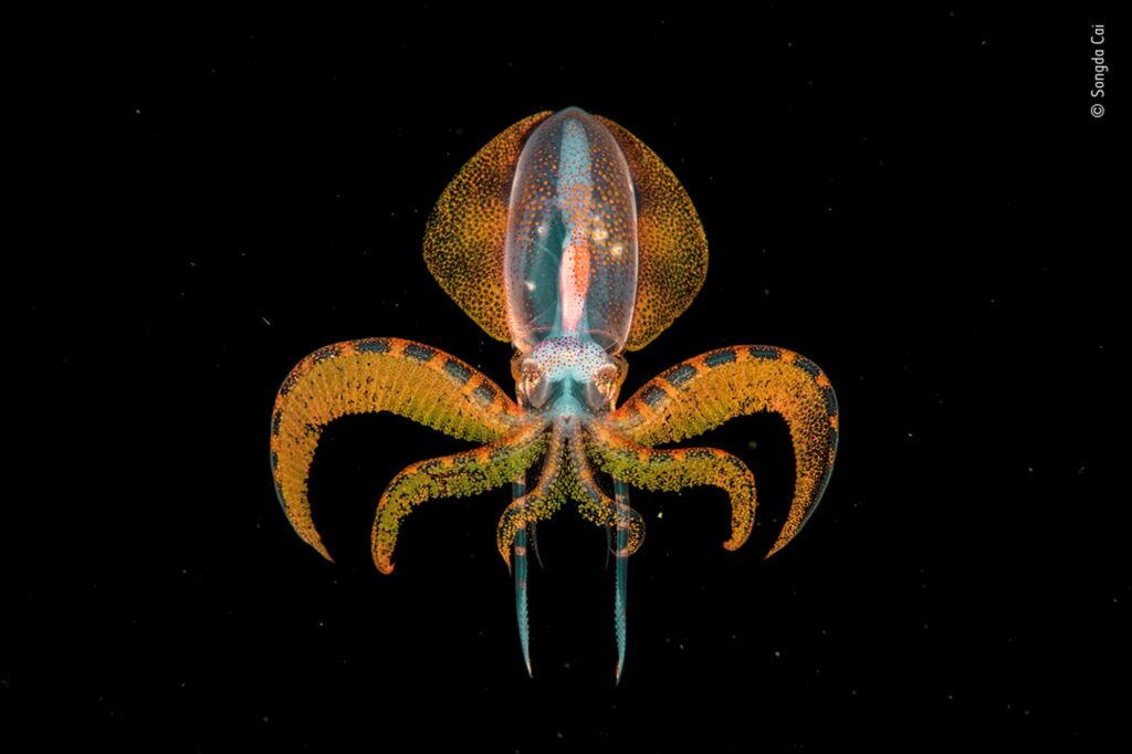 A young diamondback squid floating in dark water