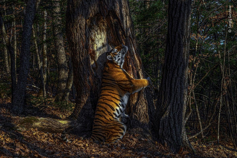 An Amur tigress rubbing herself against a Manchurian fir tree