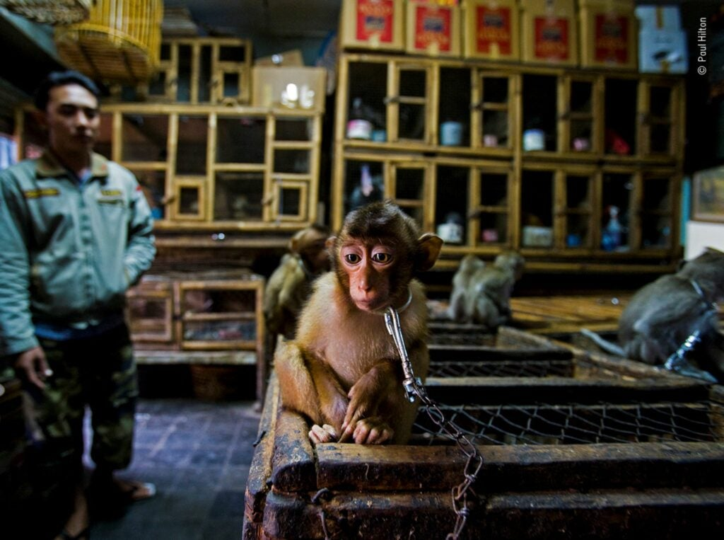 A young macaque monkey sitting on top of a cage with a chain around his neck looking towards the camera with a trader out-of-focus in the background