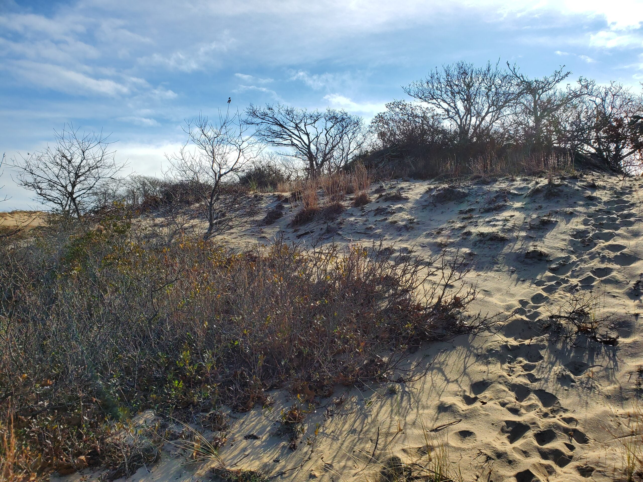 sand dunes and trees at hither hills state park on long island