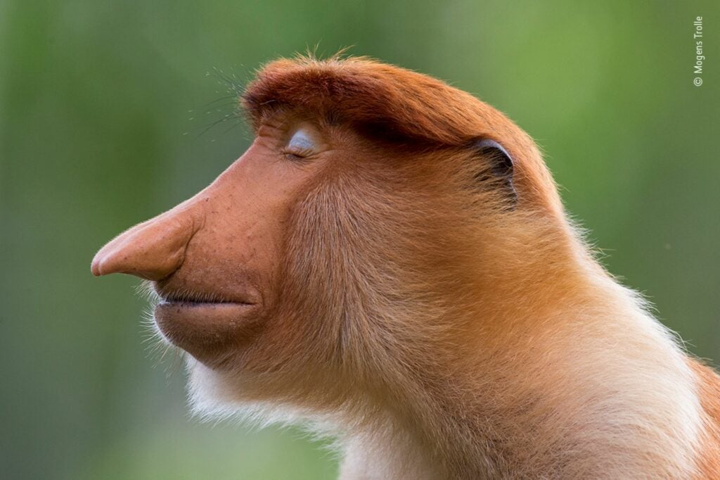 A young male proboscis monkey in profile with his eyes closed