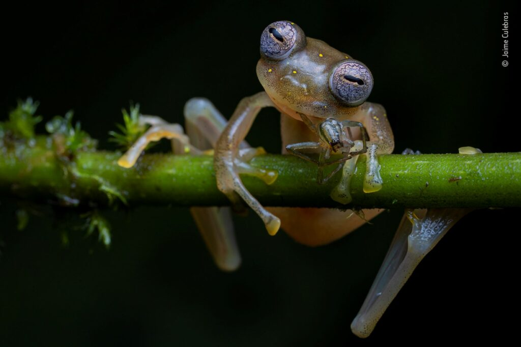 A Manduriacu glass frog sitting on a branch, eating a spider