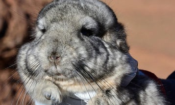 How 25 chinchillas could save a mountain