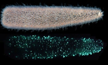 We finally know why sea pickles glow