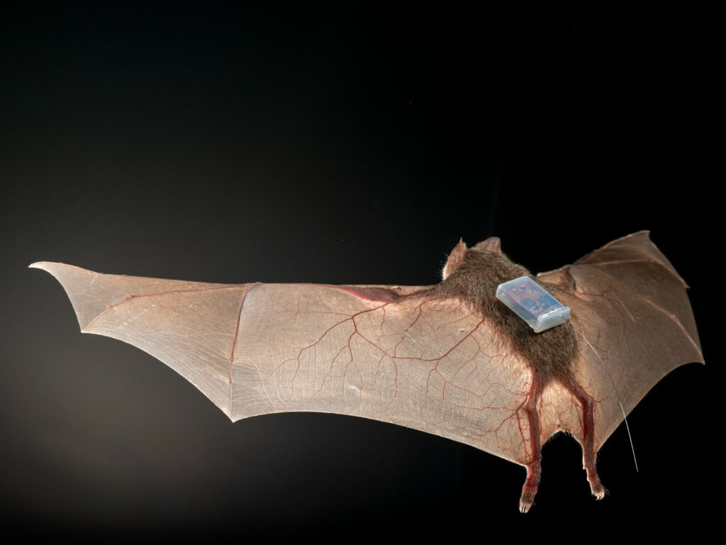 A bat flies in a dark space with a small sensor attached to its back.