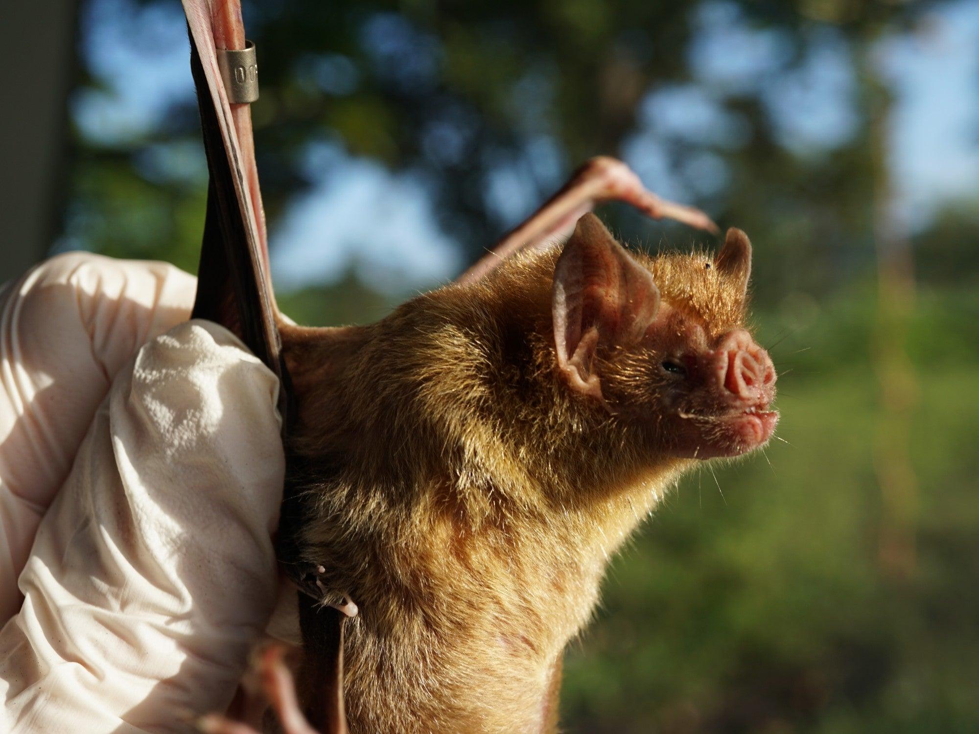 A human hand holds a light brown vampire bat.
