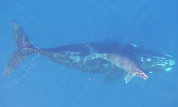 The secret to helping this resilient whale species lies in its genes