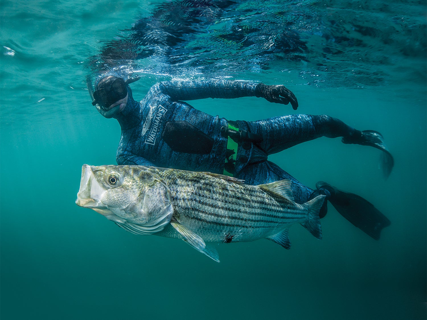 A spearfisher hauling a striped bass through the water.