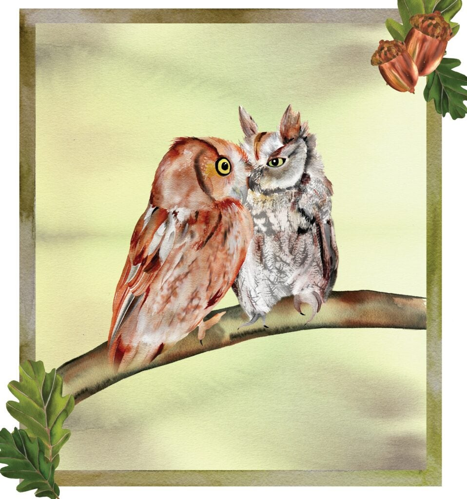 An illustration of an Eastern screech-owl cuddling on a branch