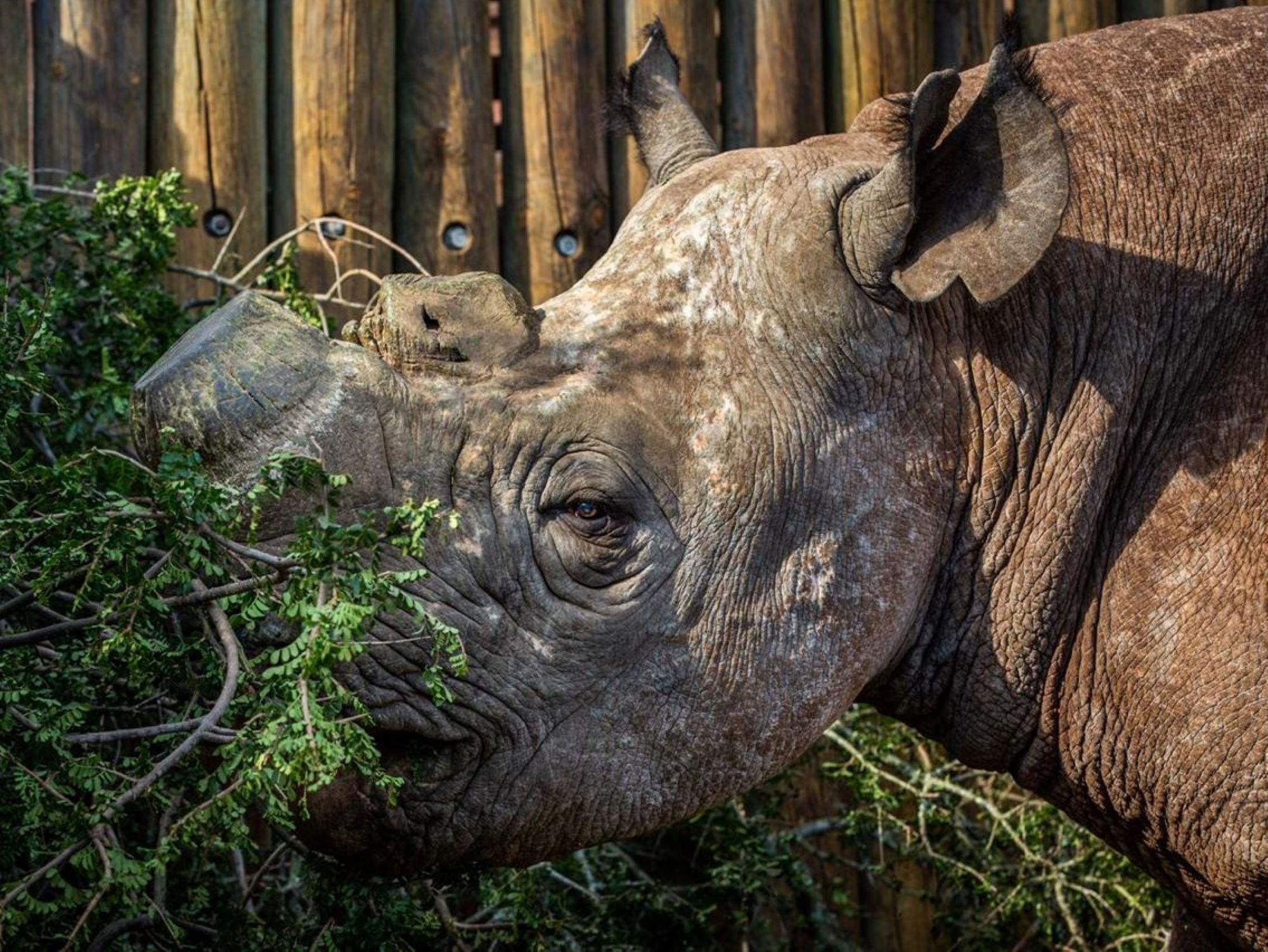 Munu the black rhino in his enclosure