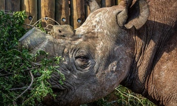 This blind rhino's infrared security system could help stop poachers