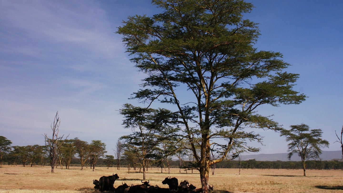 A group of Buffalo rests under a tree in the middle of a savannah, in Africa.