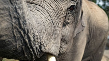 A close-up of an elephant's face