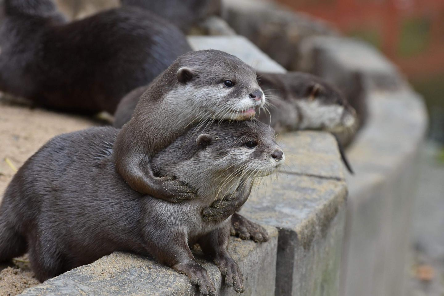 Pair of Asian short-clawed otters