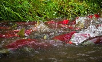 North America's biggest salmon run may no longer be in danger