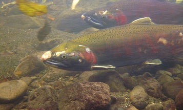 Salmon are dying off and your car tires might be to blame