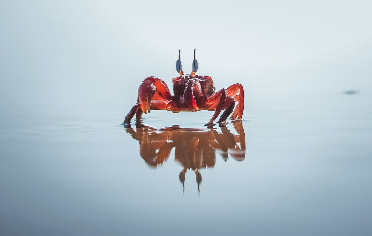 Red crab on water.