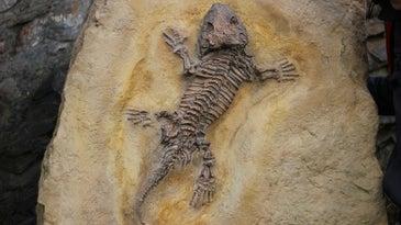 Fossilized lizard