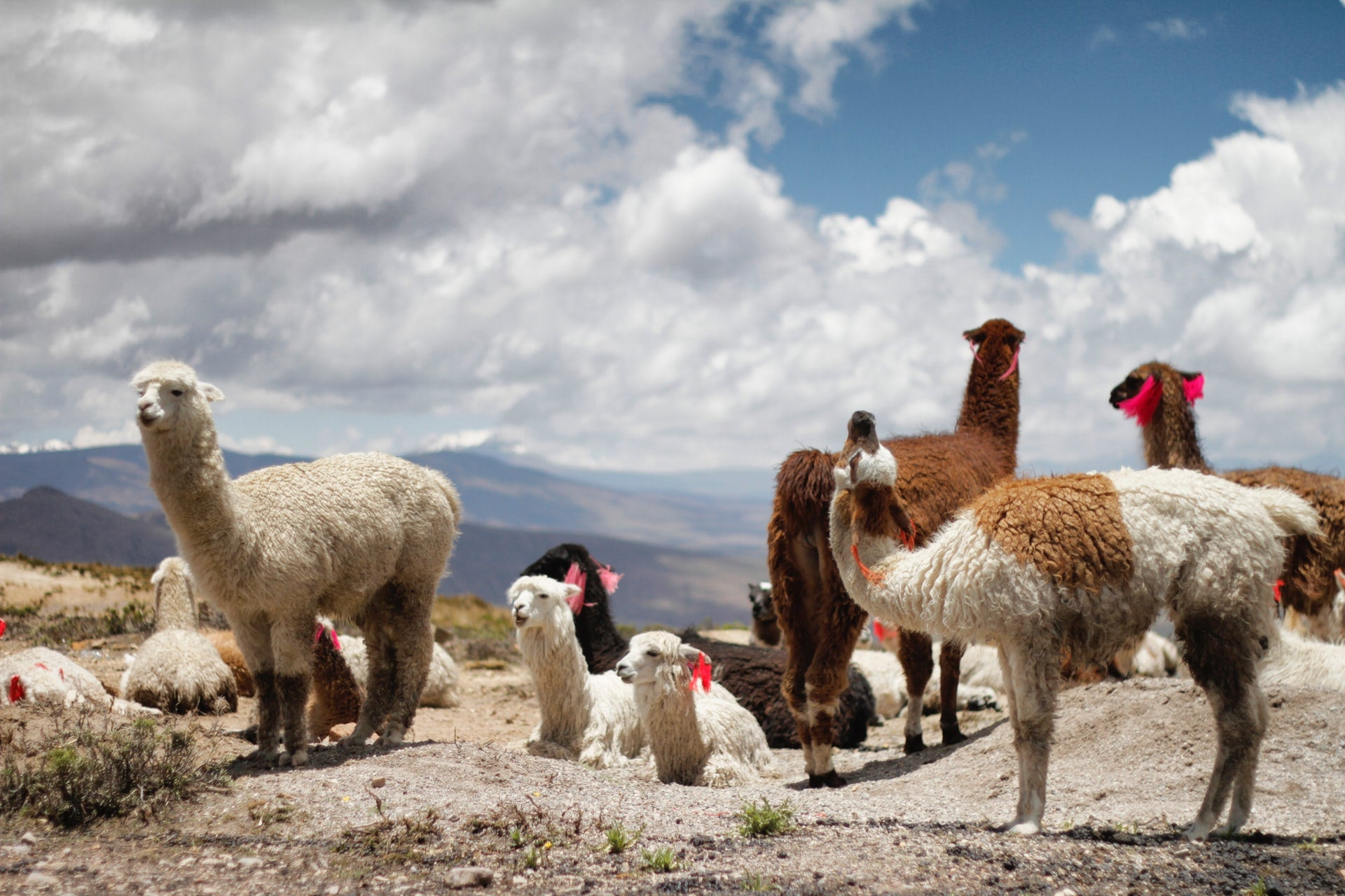 A pack of llamas on top of a canyon in Peru